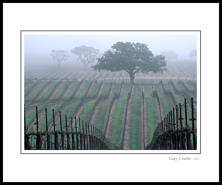 Photo Morning Fog And Oak Tree In Spring Vineyard Paso Robles San Luis Obispo County California Picture Print Framed Art Decor Wall Mural Gallery Image Photography Photograph